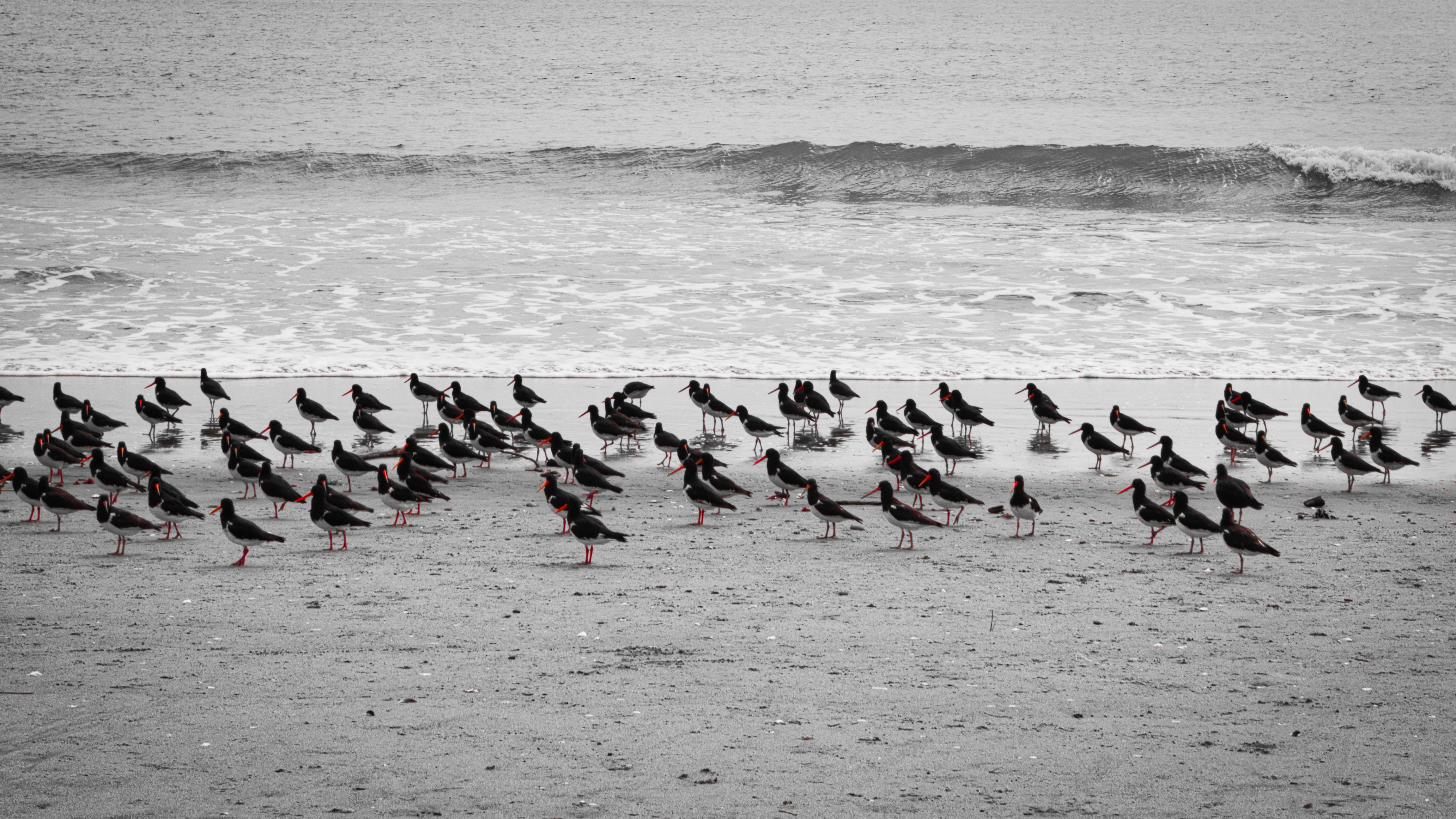 Pied oystercatchers, Nelson, NZ