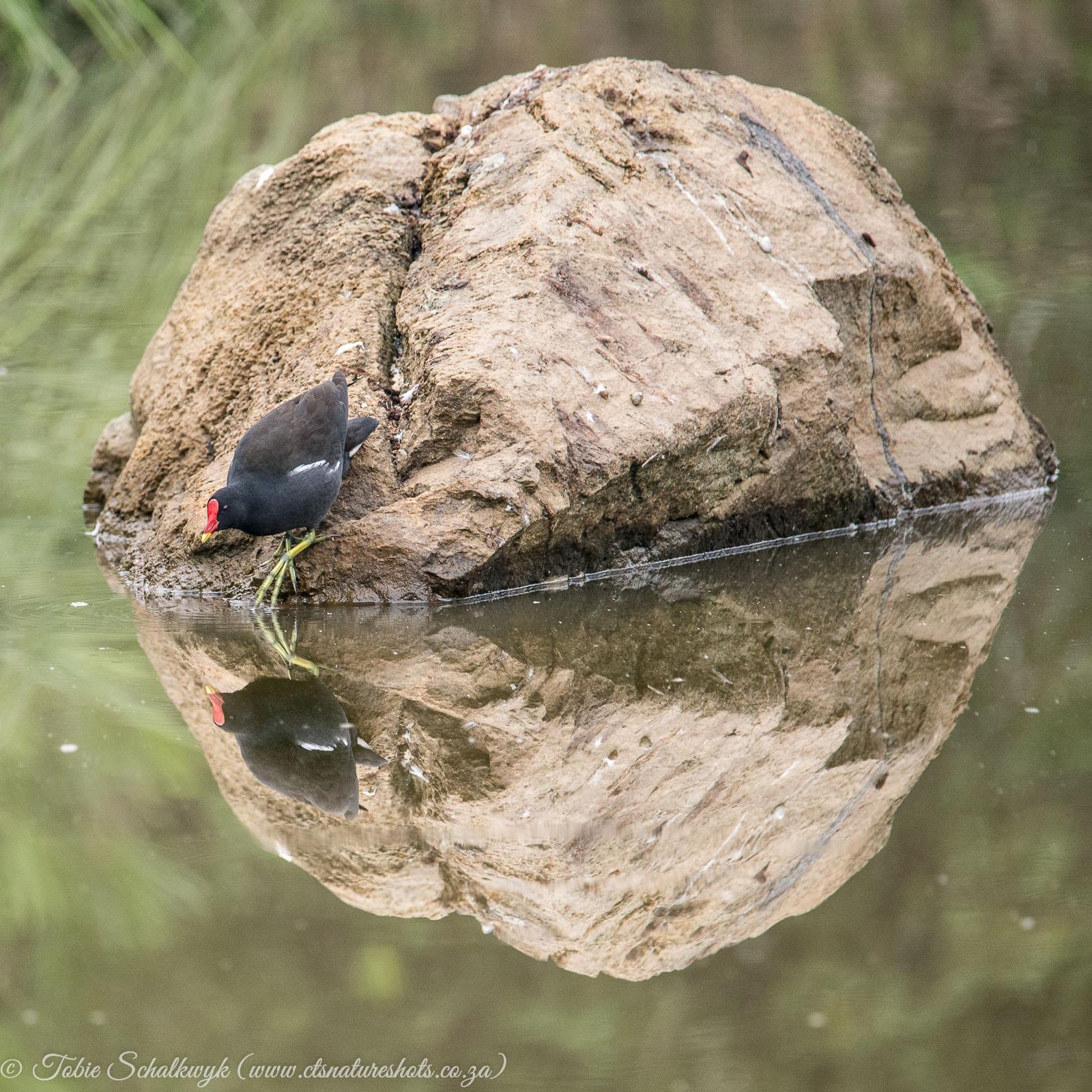 Moorhen reflection