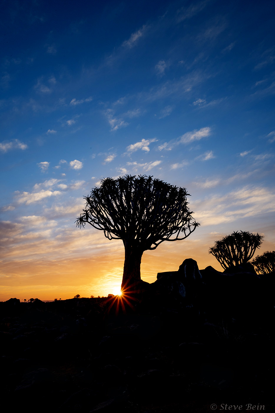 Quiver Tree forest Namibia Sunset