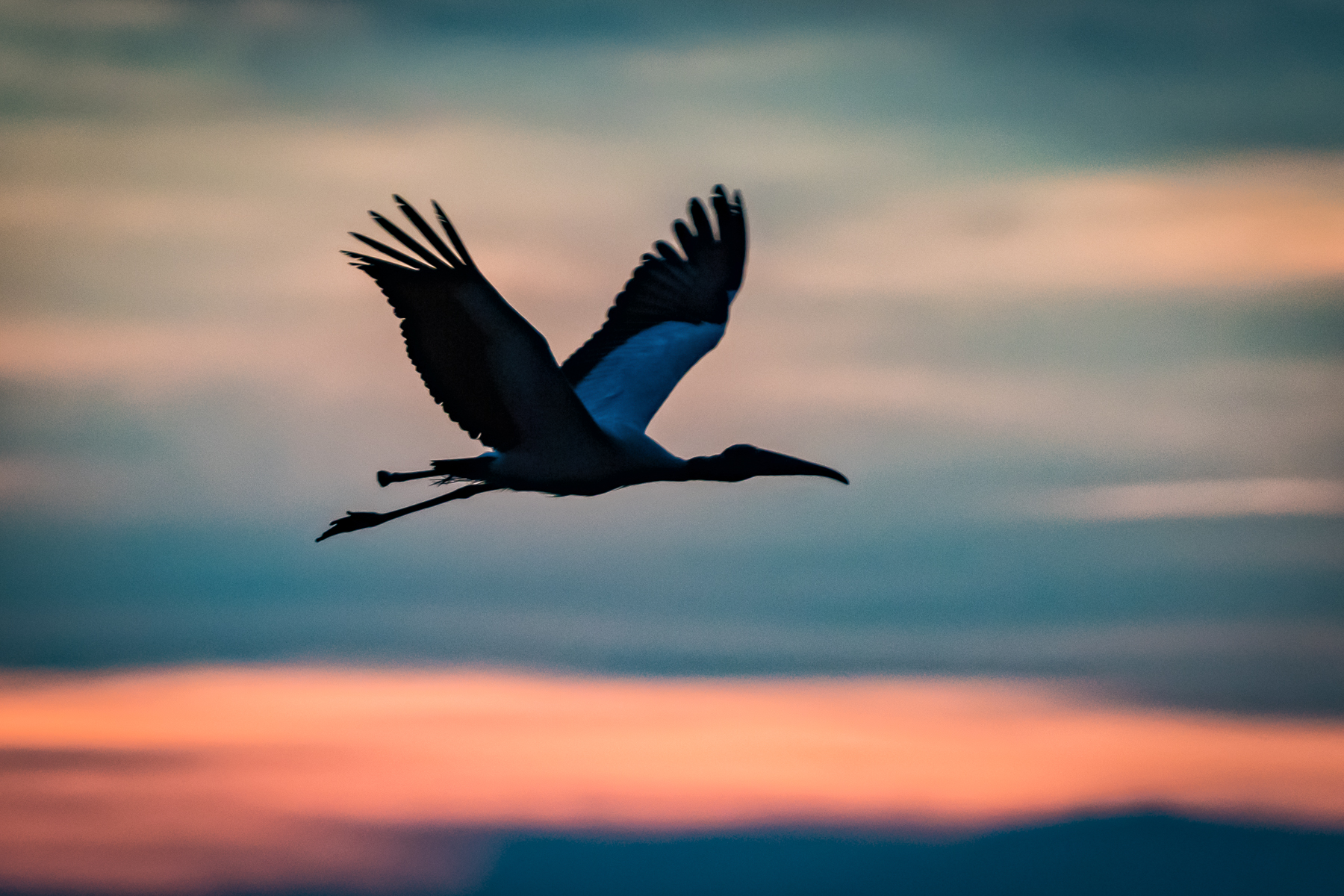 Wood stork at sunset. Kiawah Island, South Carolina.