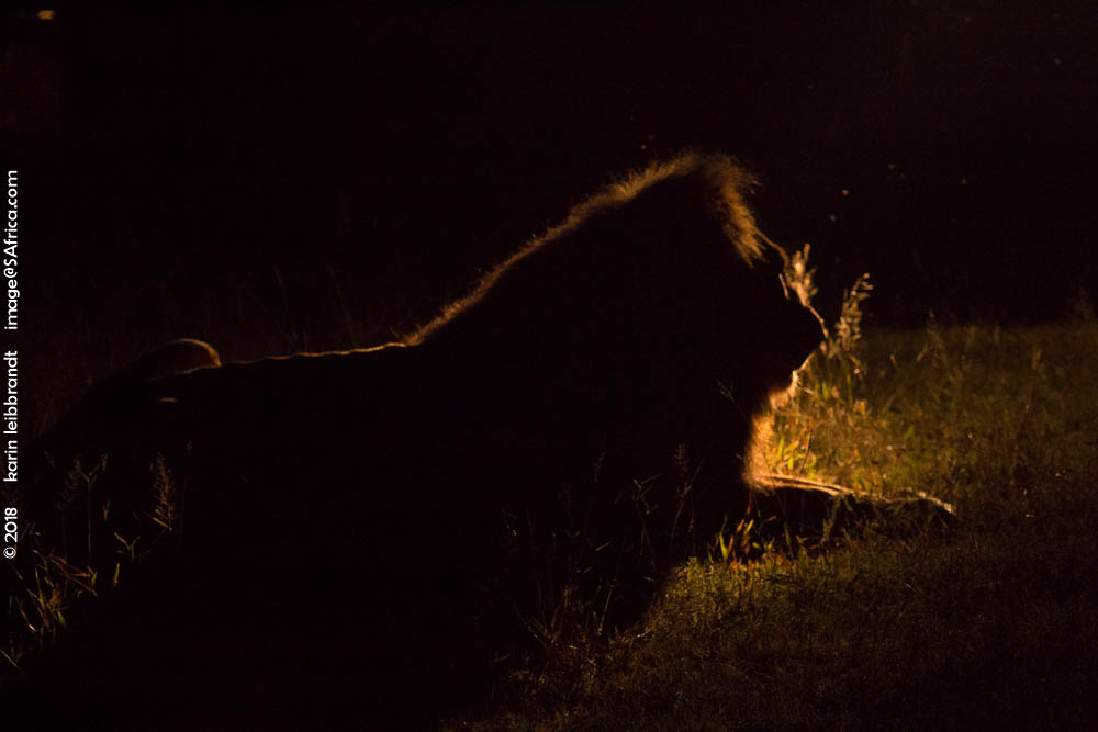 An old, lonely lion at night