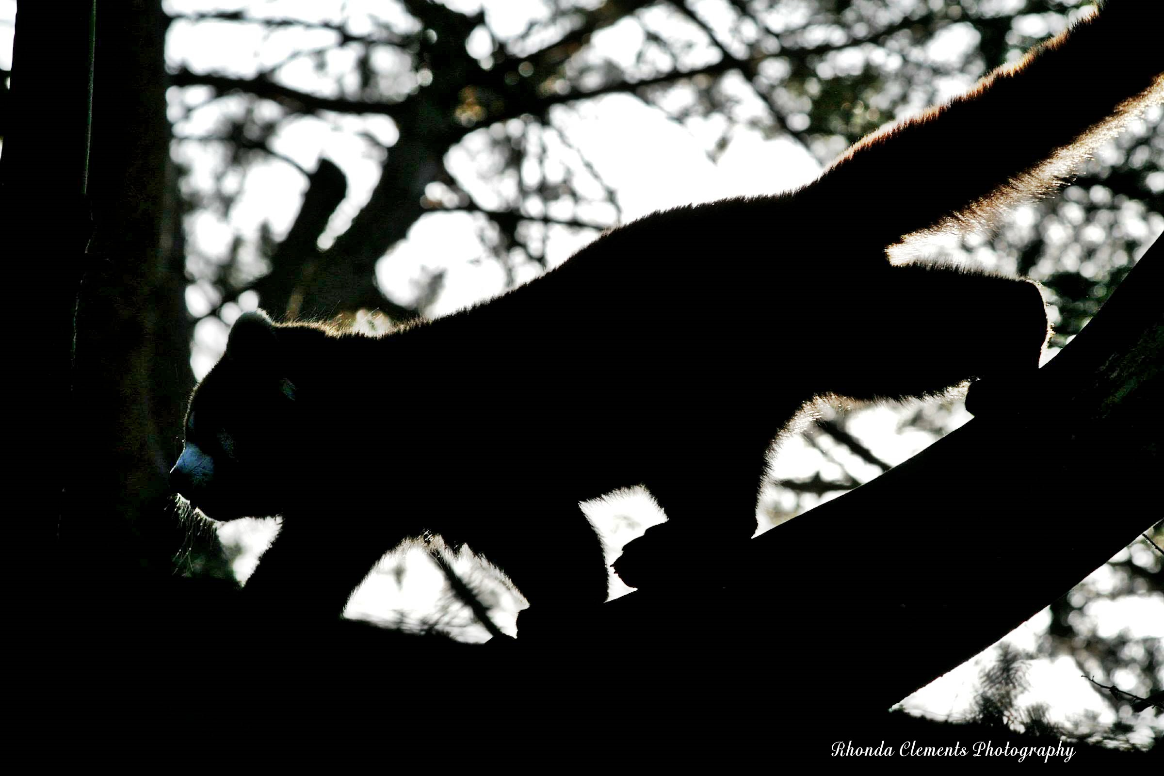 red panda strutting across tree limb