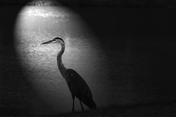 Heron by Lake