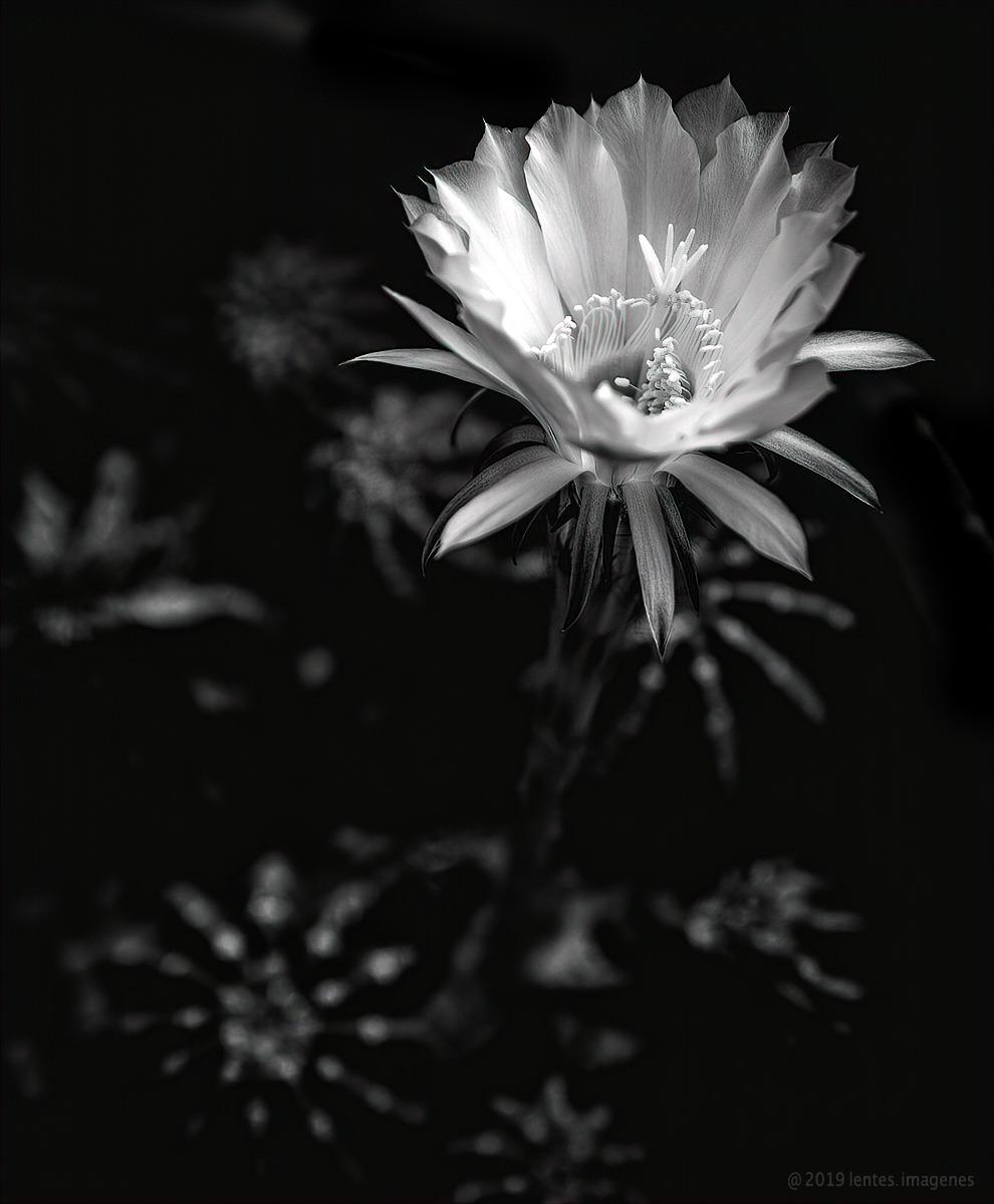 Cactus Flower BW incorporating Critiques