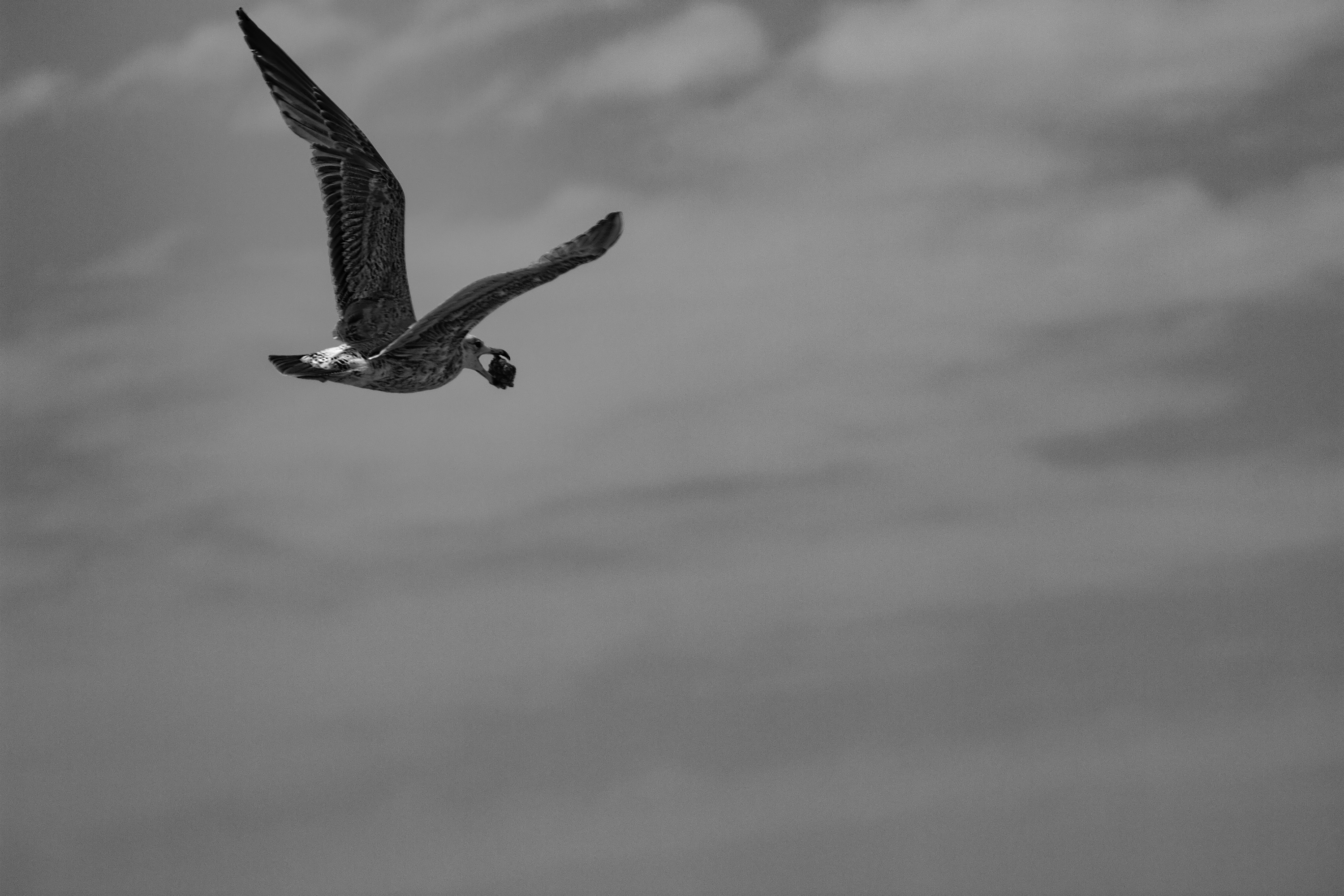 Seagull with Treasure b&w