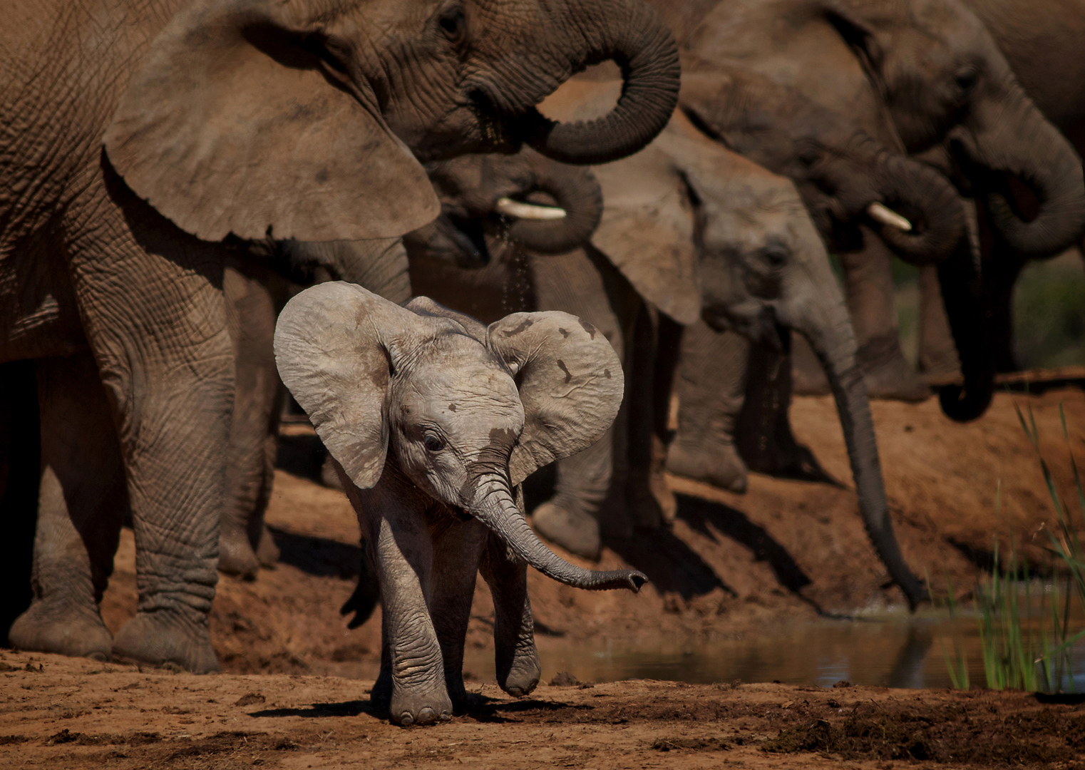 Trunks, I have one too. Baby elephant running with his ears and trunk flying about and the rest of the herd behind drinking at the waterhole. Taken in Addo Elephant National Park, South Africa