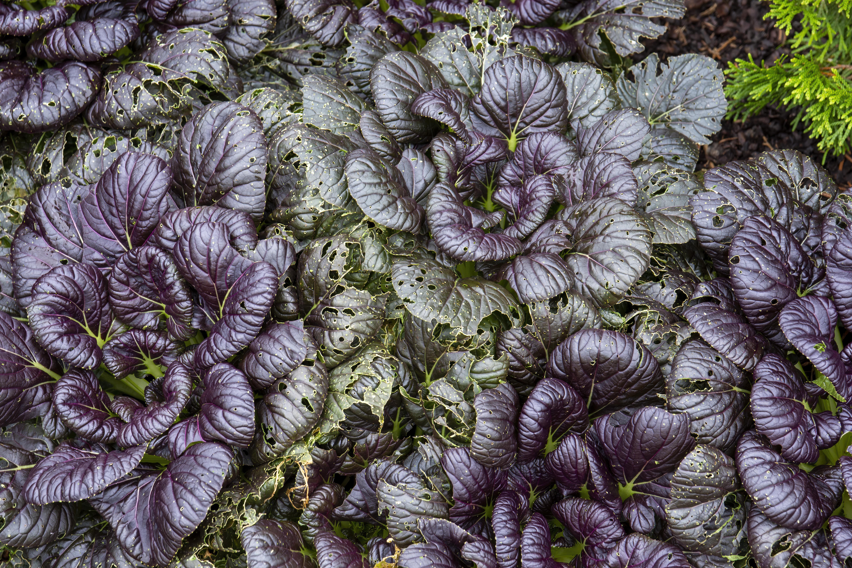 Death Cabbage
