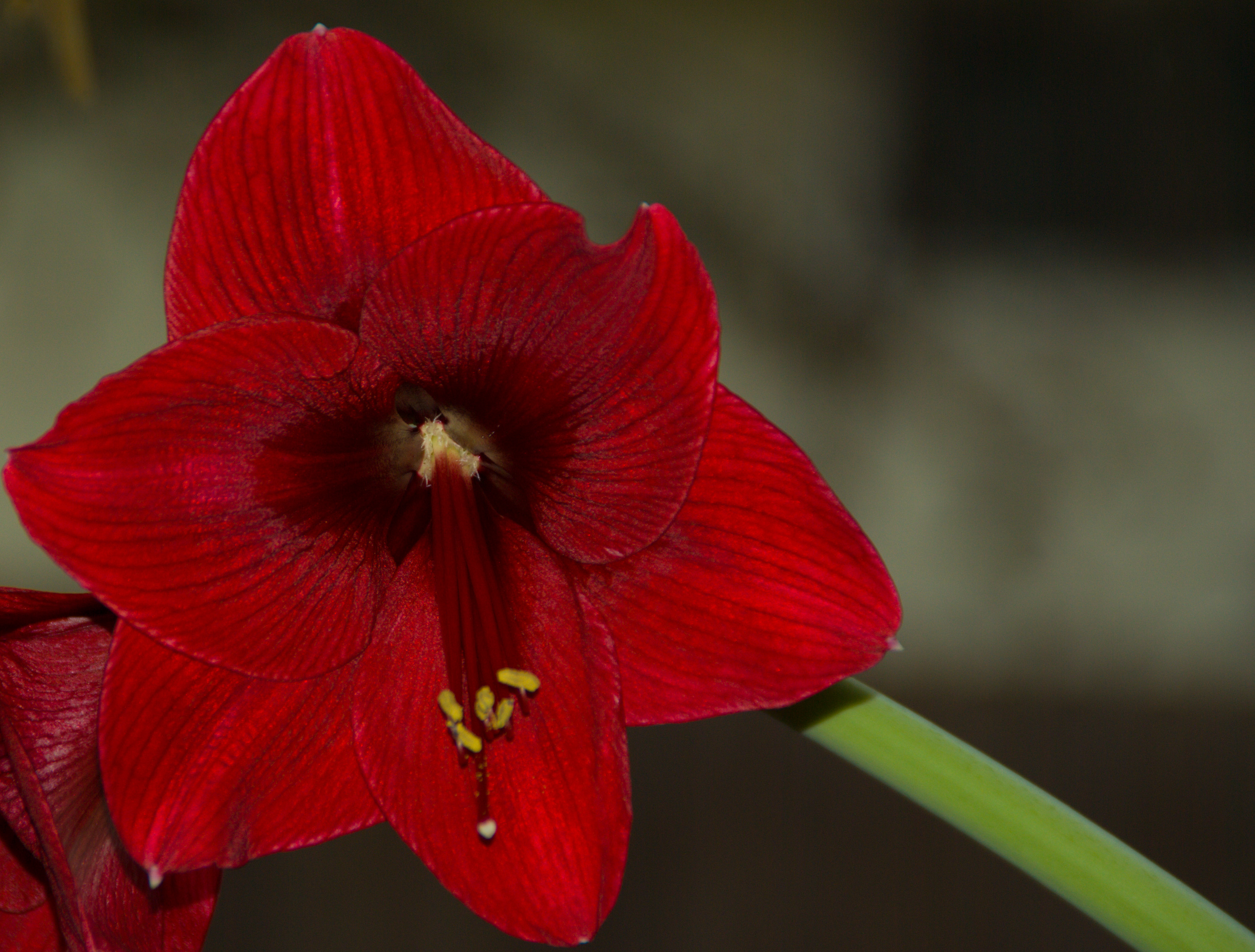 Photo of an amaryllis flower