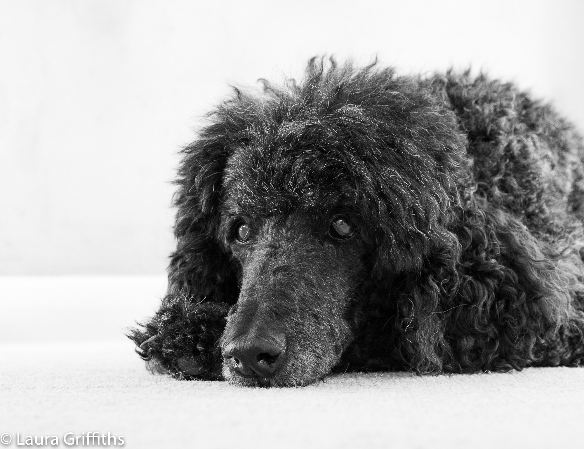 Family standard poodle co-operating wonderfully