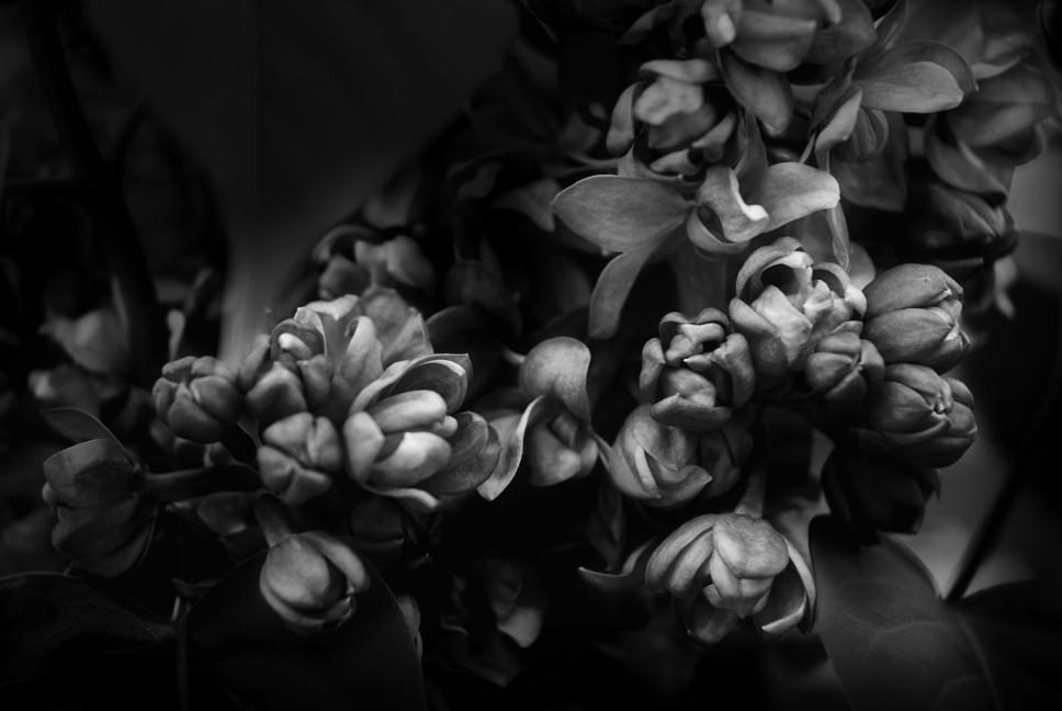 Lilacs (c) Terry Rempel-Mroz 2020