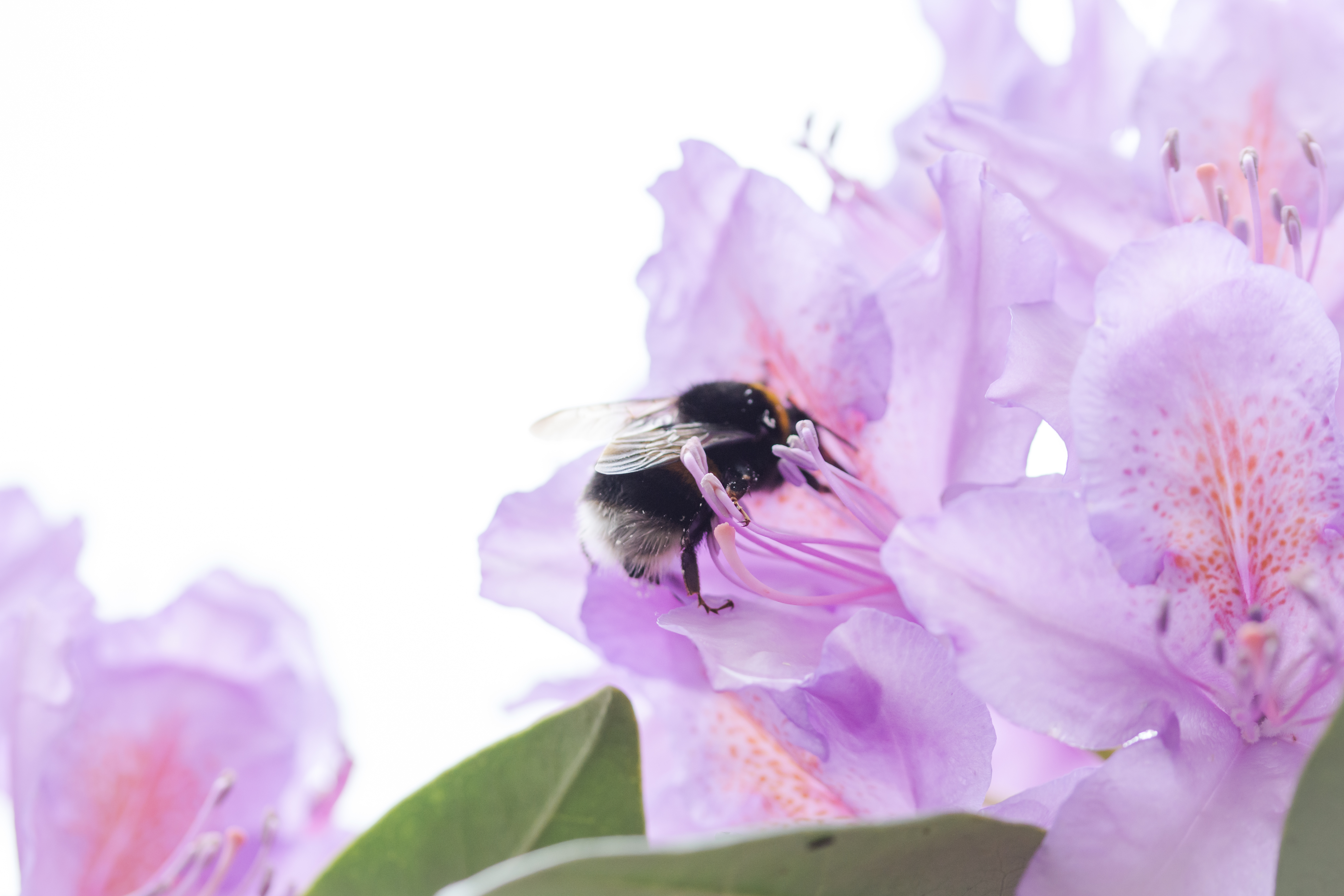 Rhododendron and bamboo bee.