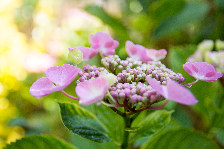 Hydrangea Start Blooming