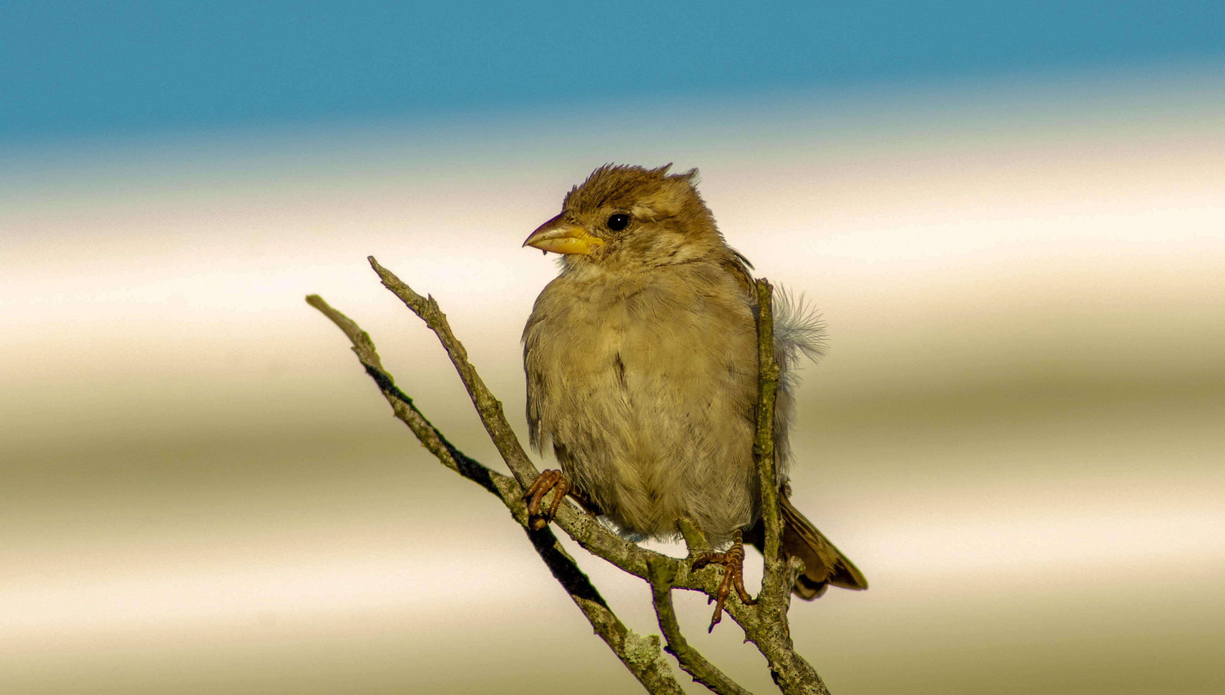 little bird original